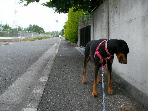 201506110500朝散歩⑮
