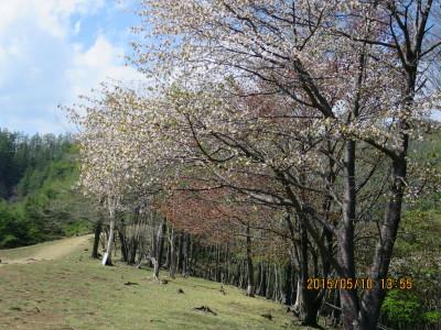 石尾根と桜の木