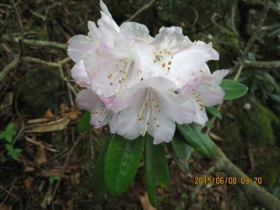 白い花のシャクナゲ