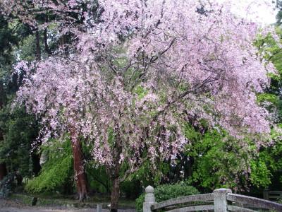 枝垂れ桜(村雲橋付近)