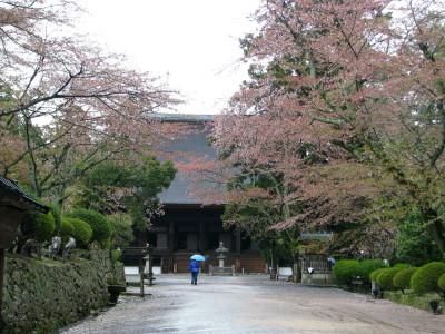 本堂と桜並木