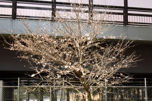 270321 桜1