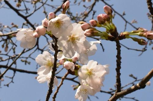 270321 桜2
