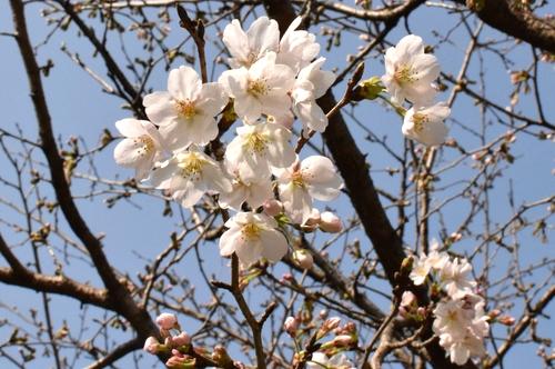 270321 桜3