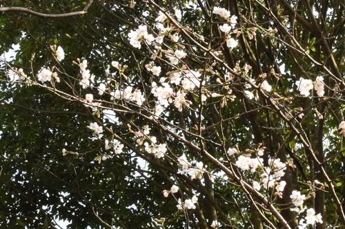 270321 桜5