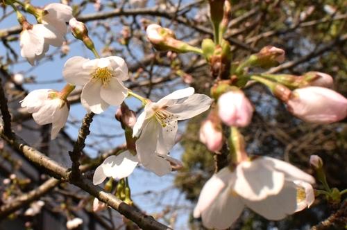 270321 桜4