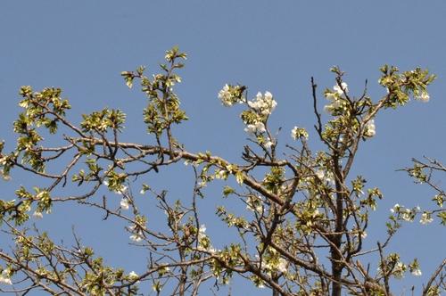270321 桜7