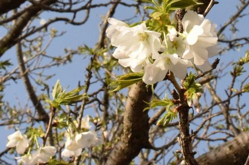 270321 桜9