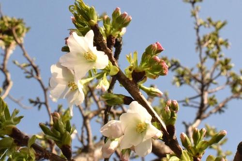 270321 桜10