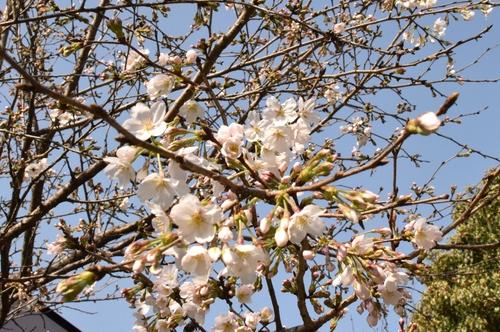 270321 桜11