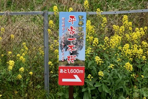 270331 天保古山の1本桜1