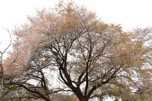 270331 天保古山の1本桜7