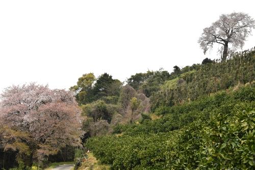 270331 天保古山の1本桜10