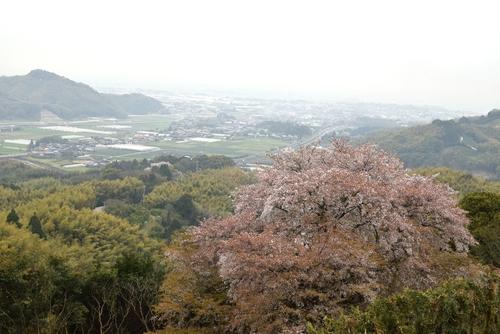 270331 天保古山の1本桜11
