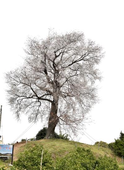 270331 天保古山の1本桜12