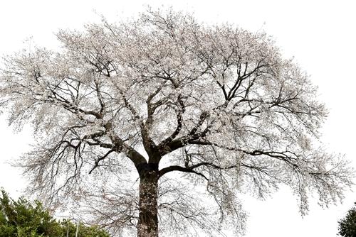 270331 天保古山の1本桜14