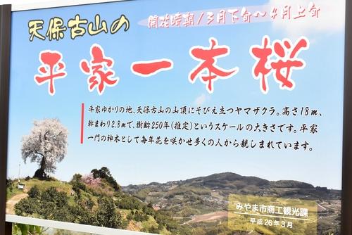 270331 天保古山の1本桜13