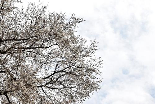 270331 天保古山の1本桜15