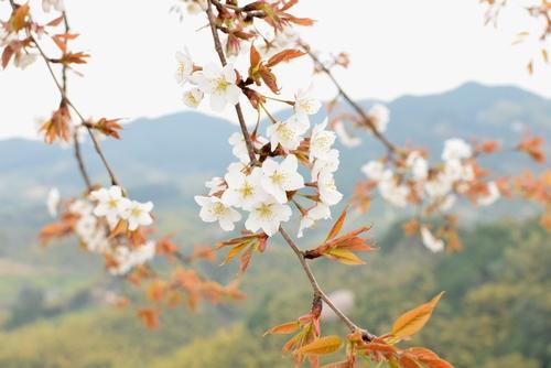 270331 天保古山の1本桜16