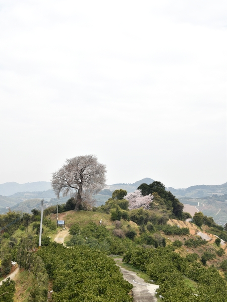 270331 天保古山の1本桜19