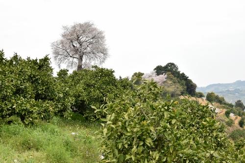 270331 天保古山の1本桜18