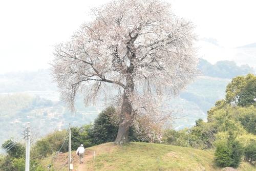 270331 天保古山の1本桜20