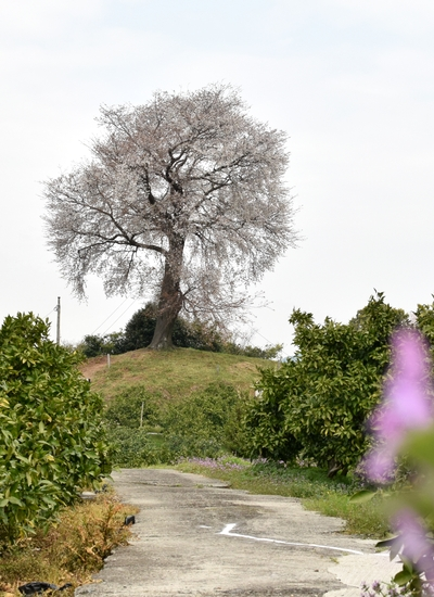 270331 天保古山の1本桜21