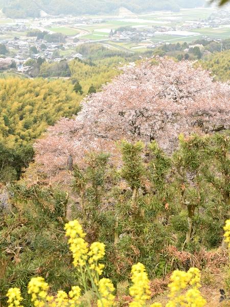 270331 天保古山の1本桜22