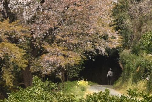 270331 天保古山の1本桜24