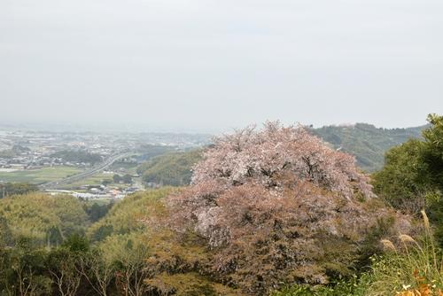 270331 天保古山の1本桜23