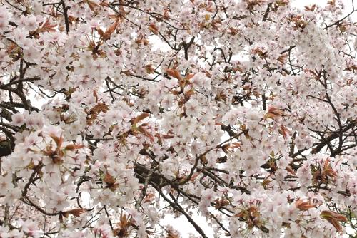 270331 天保古山の1本桜25