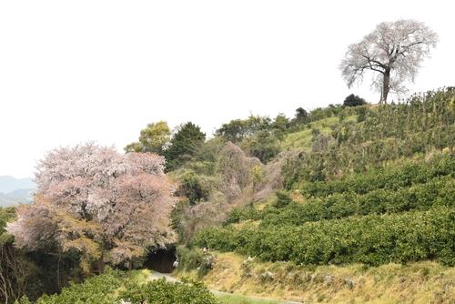 270331 天保古山の1本桜35