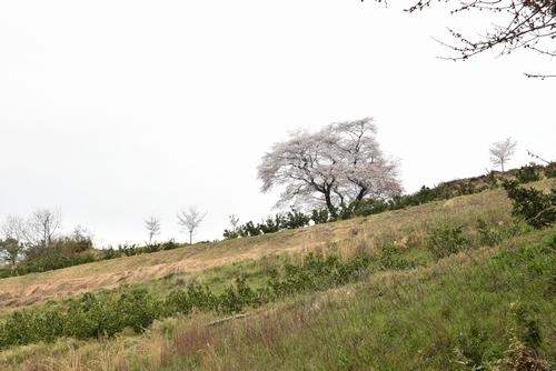 270331 青々谷城尾大桜3