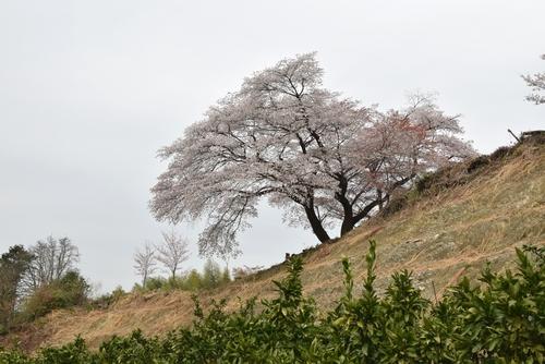 270331 青々谷城尾大桜6