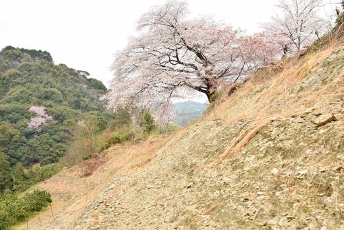 270331 青々谷城尾大桜7