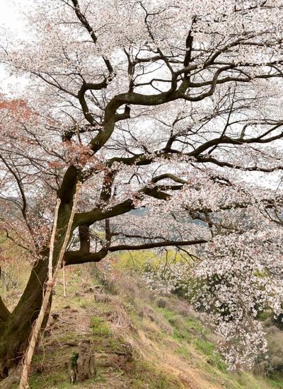 270331 青々谷城尾大桜9