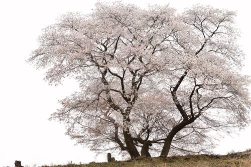 270331 青々谷城尾大桜8