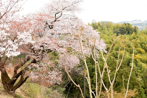 270331 青々谷城尾大桜10