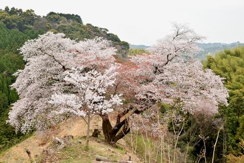 270331 青々谷城尾大桜11