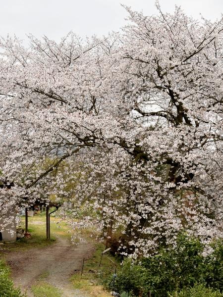 270331 平家名残桜3