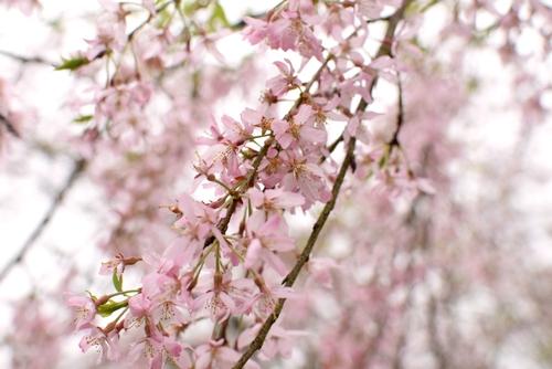 270406 桜1