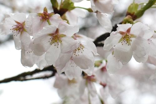 270406 桜2