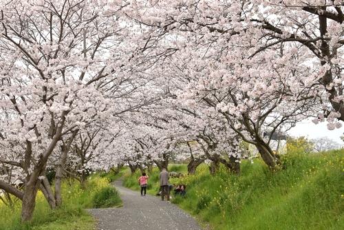 270331 新船小屋桜並木2