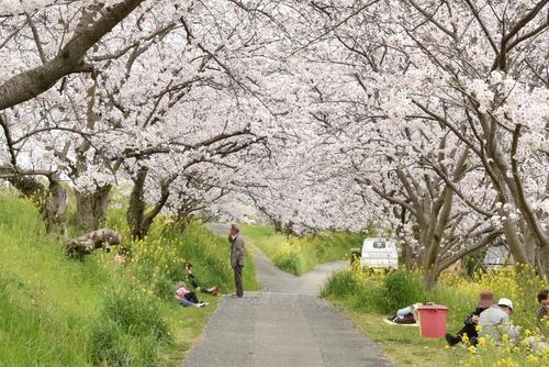 270331 新船小屋桜並木3