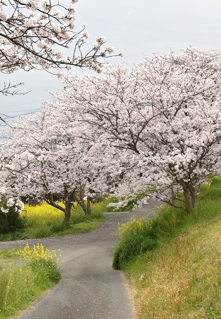 270331 新船小屋桜並木17
