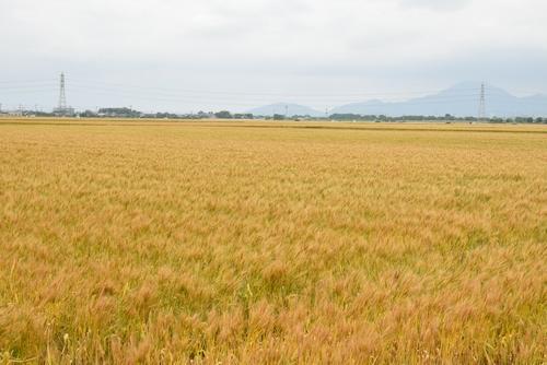 270514 麦畑1