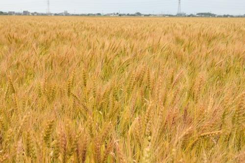 270514 麦畑2