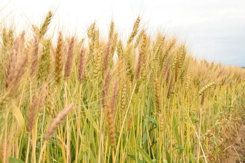 270514 麦畑4