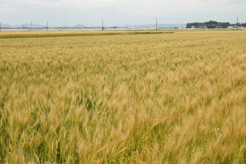 270514 麦畑3