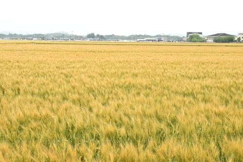 270514 麦畑6